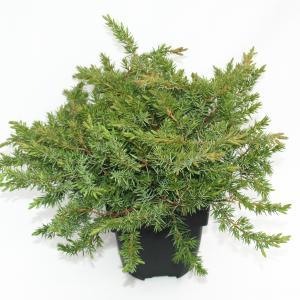"Kruipende jeneverbes (Juniperus conferta ""Schlager"") conifeer"