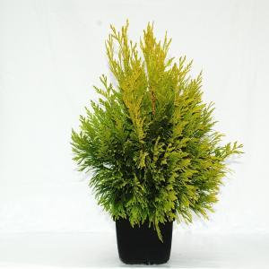 "Reuzenlevensboom (Thuja plicata ""4ever Goldy"") conifeer"
