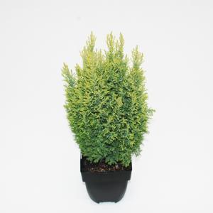 "Schijncipres (Chamaecyparis lawsoniana ""Ellwoodii Gold"") conifeer"