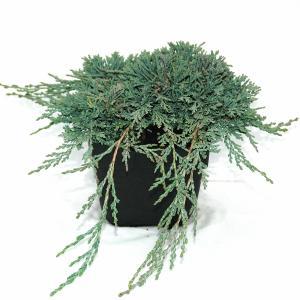 "Kruipende jeneverbes (Juniperus horizontalis ""Ice Blue"") conifeer"
