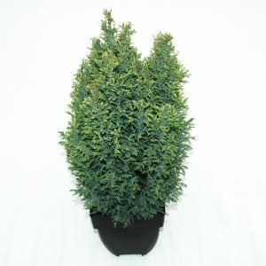 "Schijncipres (Chamaecyparis lawsoniana ""Snow White"") conifeer"