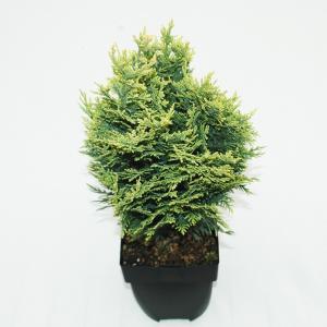 "Schijncipres (Chamaecyparis lawsoniana ""White Spot"") conifeer"
