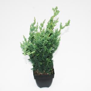 "Schijncipres (Chamaecyparis lawsoniana ""Wisselii"") conifeer"