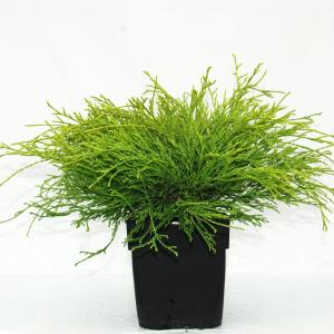 "Schijncipres (Chamaecyparis pisifera ""Filifera Aurea"") conifeer"
