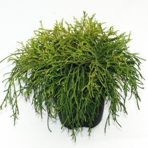 "Schijncipres (Chamaecyparis pisifera ""Sungold"") conifeer"