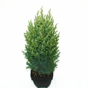 "Chinese jeneverbes (Juniperus Chinensis ""Stricta"") conifeer"