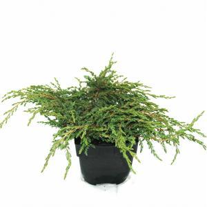 "Kruipende jeneverbes (Juniperus communis ""Repanda"") conifeer"