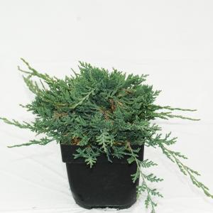 "Kruipende jeneverbes (Juniperus horizontalis ""Wiltonii"") conifeer"
