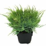 "Jeneverbes (Juniperus media ""Mint Julep"") conifeer"