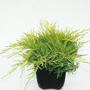 "Jeneverbes (Juniperus media ""Old Gold"") conifeer"