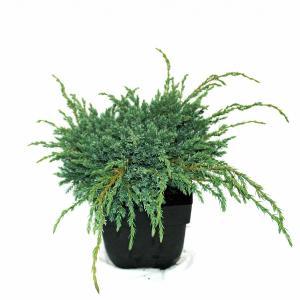 """Kruipende jeneverbes (Juniperus squamata """"Blue Carpet"""") conifeer"""