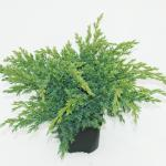 "Jeneverbes (Juniperus squamata ""Blue Swede"") conifeer"