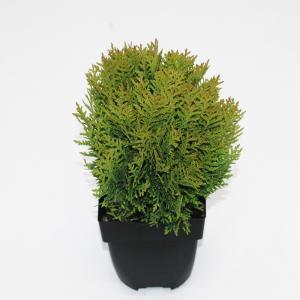"Westerse levensboom (Thuja occidentalis ""Danica"") conifeer"