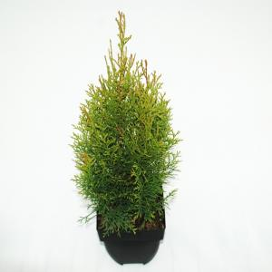"Westerse levensboom (Thuja occidentalis ""Smaragd"") conifeer"