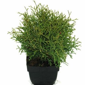 "Westerse levensboom (Thuja occidentalis ""Tiny Tim"") conifeer"