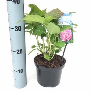 """Hydrangea Macrophylla """"Bouquet Rose"""" boerenhortensia"""