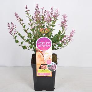 Plantenwinkel.nl Dwergsering (syringa BloomerangPink PerfumeParfume de Nature)