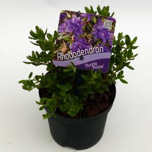 """Dwerg rododendron (Rhododendron """"Purple Pillow"""") heester"""