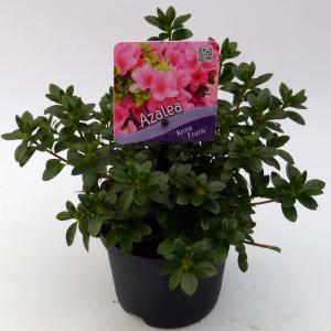 """Rododendron (Rhododendron Japonica """"Anne Frank"""") heester"""