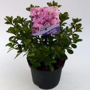 """Rododendron (Rhododendron Japonica """"Kermesina Rose"""") heester"""