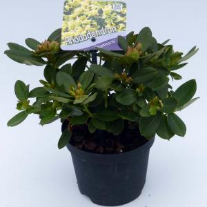 """Dwerg rododendron (Rhododendron """"Shamrock"""") heester"""