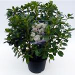 "Rododendron (Rhododendron Japonica ""Schneewittchen"") heester"