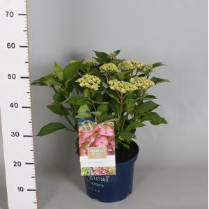 "Hydrangea Macrophylla ""Magical Harmony Roze""® boerenhortensia"