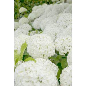 "Hydrangea Arborescens ""Strong Annabelle""® sneeuwbalhortensia"