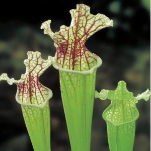 Witte trompetbekerplant (Sarracenia leucophylla) moerasplant