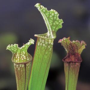 "Trompetbekerplant (Sarracenia ""Stevensii"") moerasplant"