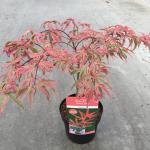 "Japanse esdoorn (Acer palmatum ""Shirazz"") heester"