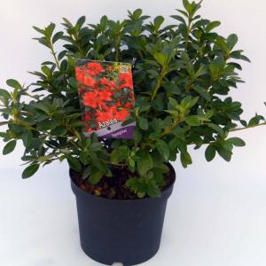 """Rododendron (Rhododendron Japonica """"Signalgluhen"""") heester"""
