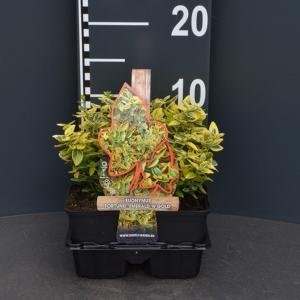 "Kardinaalsmuts (euonymus fortunei ""Emerald 'n Gold"") bodembedekker"