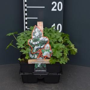 """Ooievaarsbek (geranium cantabrigiense """"Biokovo"""") bodembedekker"""