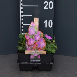 """Ooievaarsbek (geranium sanguineum """"Max Frei"""") bodembedekker"""