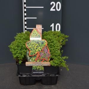 "Citroentijm (thymus citriodorus ""Bertram Anderson"") bodembedekker"