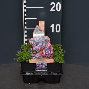 Kleine tijm (thymus serpyllum) bodembedekker