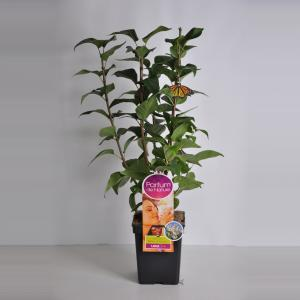 Plantenwinkel.nl Sering (syringa vulgaris Beauty of MoscowParfum de Nature)