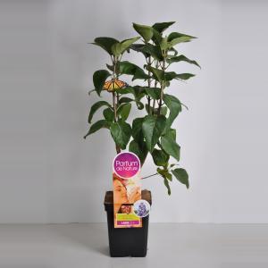 Plantenwinkel.nl Sering (syringa vulgaris NadezhdaParfum de Nature)
