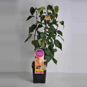 Plantenwinkel.nl Sering (syringa vulgaris PrimroseParfum de Nature)