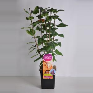 Plantenwinkel.nl Sering (syringa vulgaris Ruhm von HorstensteinParfum de Nature)