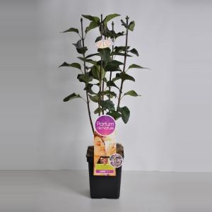 Plantenwinkel.nl Sering (syringa vulgaris SensationParfum de Nature)