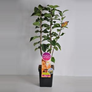 Plantenwinkel.nl Sering (syringa vulgaris Souv. d'Alice HardingParfum de Nature)