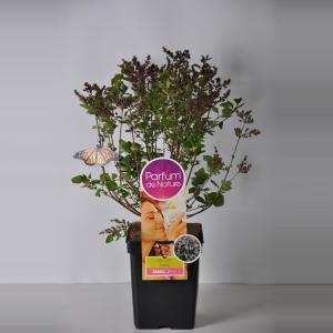 Plantenwinkel.nl Dwergsering (syringa meyeri PalibinParfum de Nature)