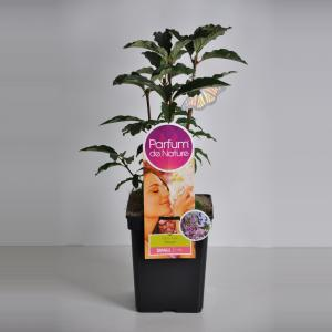 Plantenwinkel.nl Sering (syringa villosae MinuetParfum de Nature)