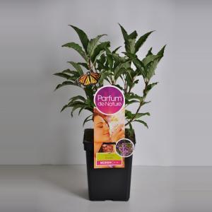 Plantenwinkel.nl Sering (syringa villosae RoyaltyParfum de Nature)