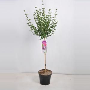 Plantenwinkel.nl Dwergsering op stam (syringa meyeri Palibin) - 70 cm - 1 stuks