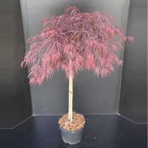 "Japanse esdoorn op stam (Acer palmatum ""Garnet"") heester"