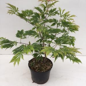 """Japanse esdoorn (Acer Japonicum """"Aconitifolium"""") heester"""