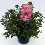 """Rododendron (Rhododendron Japonica """"Madame van Hecke"""") heester"""